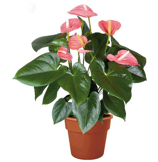 گیاهان آپارتمانی گل دار - آنتوریوم