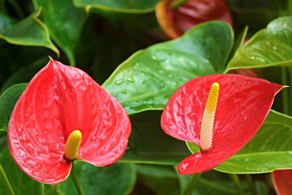 راهنمای مراقبت و نگهداری گل آنتوریوم