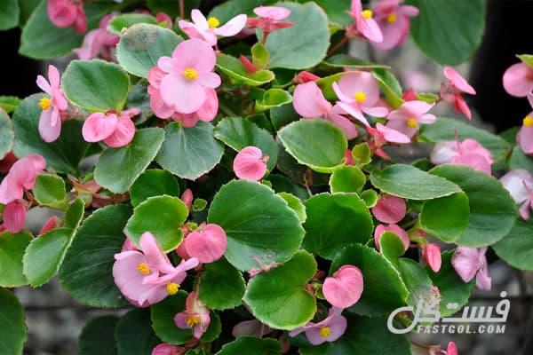 گیاهان آپارتمانی گلدار گیاه بگونیا