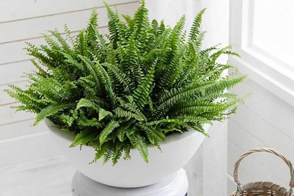 سرخس بوستون | گیاهان آپارتمانی تصفیه کننده