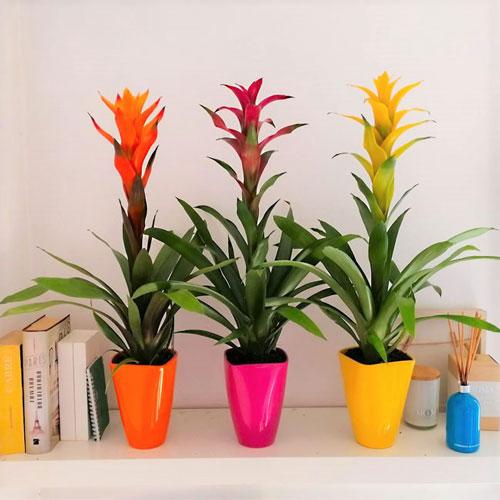 گیاه بروملیاد - گلهای آپارتمانی با نور کم