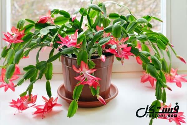 گیاهان آپارتمانی گل دار کاکتوس کریسمس