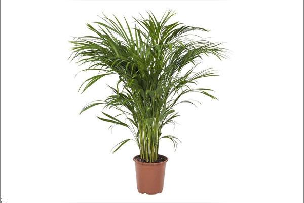 گیاه نخل بامبو | گیاهان آپارتمانی تصفیه کننده