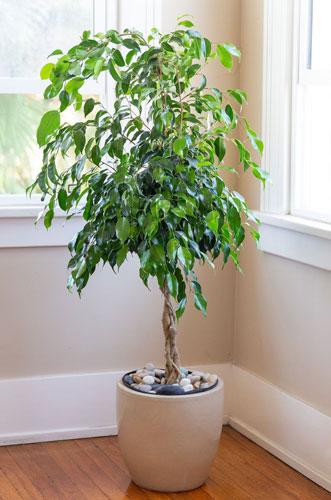 فیکوس بنجامین - گیاهان تصفیه کننده هوا