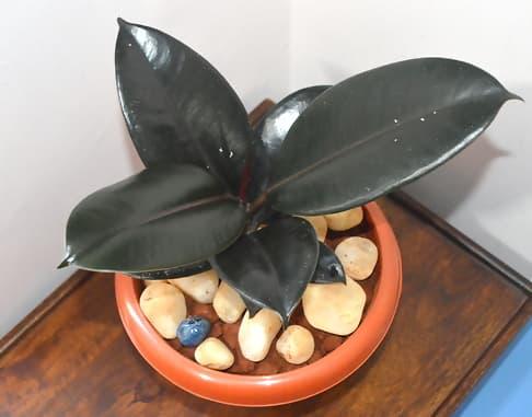 گیاه فیکوس الاستیکا - گیاهان تصفیه کننده هوا