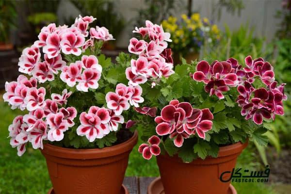گل شمعدانی از مناسب ترین گیاهان برای اتاق خواب است