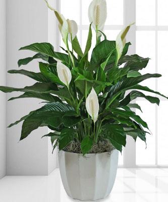گلهای آپارتمانی با نور کم - گیاه لیلی صلح