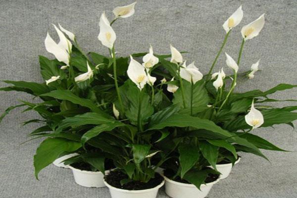 لی لی صلح | گیاهان آپارتمانی تصفیه کننده