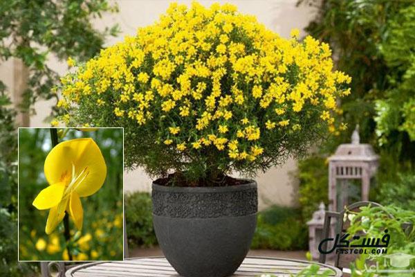 گلهای آپارتمانی با نور کم - گیاه طاووسی