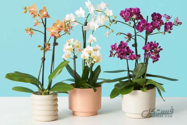 گیاه ارکیده شاپرکی از گل های مناسب برای اتاق خواب