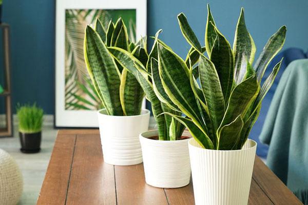 گیاه مار | گیاهان آپارتمانی تصفیه کننده