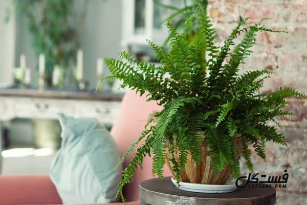 گیاهان تصفیه کننده هوا- گیاه سرخس بوستون