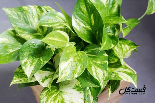 گیاه پتوس - گیاهان تصفیه کننده هوا
