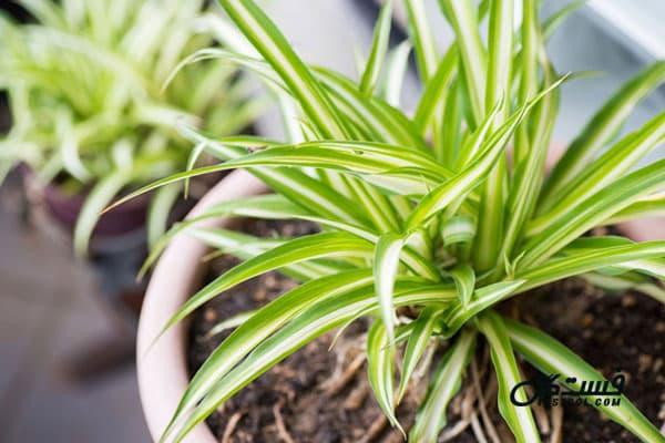 گیاه عنکبوتی - گیاهان تصفیه کننده هوا